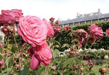 Roses du Palais Royal