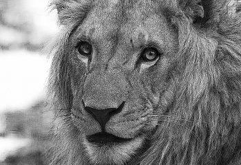 Sous le signe du lion