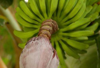 Bananes au régime