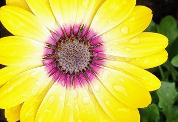 Fleur cultivée