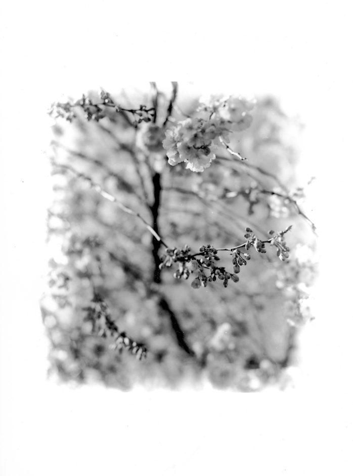 Mini-rêve : Cerisier