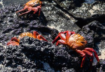 Crabes rouges des galapagos