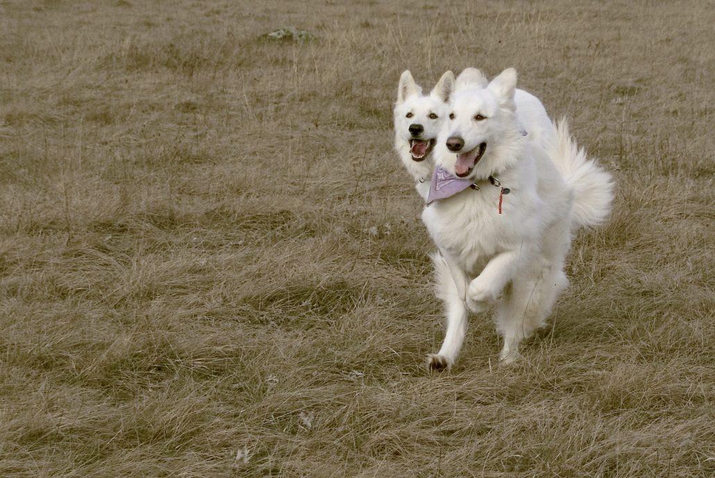 chien à deux têtes