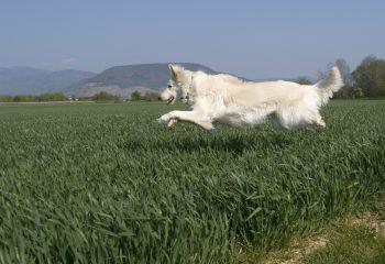 chien volant