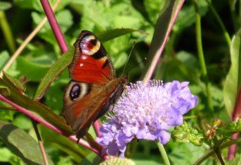 papillon à varsovie