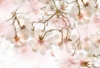 Magnolias au printemps