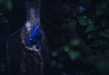 Grenouille Dendrobate bleue