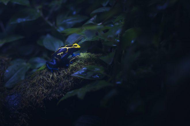 Grenouille Dendrobate jaune et noire