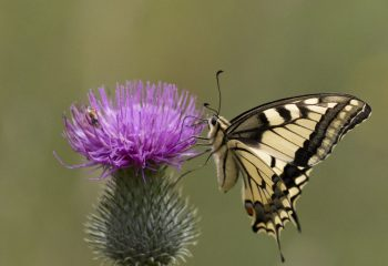 le machaon joli