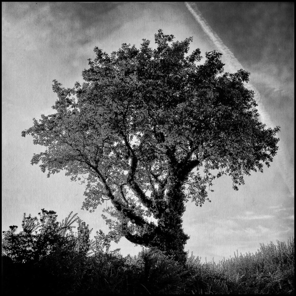 Chêne, Anse de Pellinec