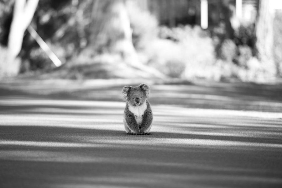 The first koala