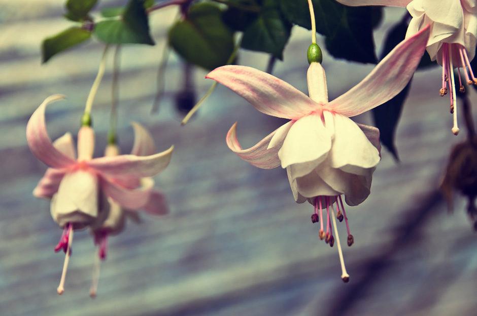 Flower Garden, Munnar (Kerala, Inde)