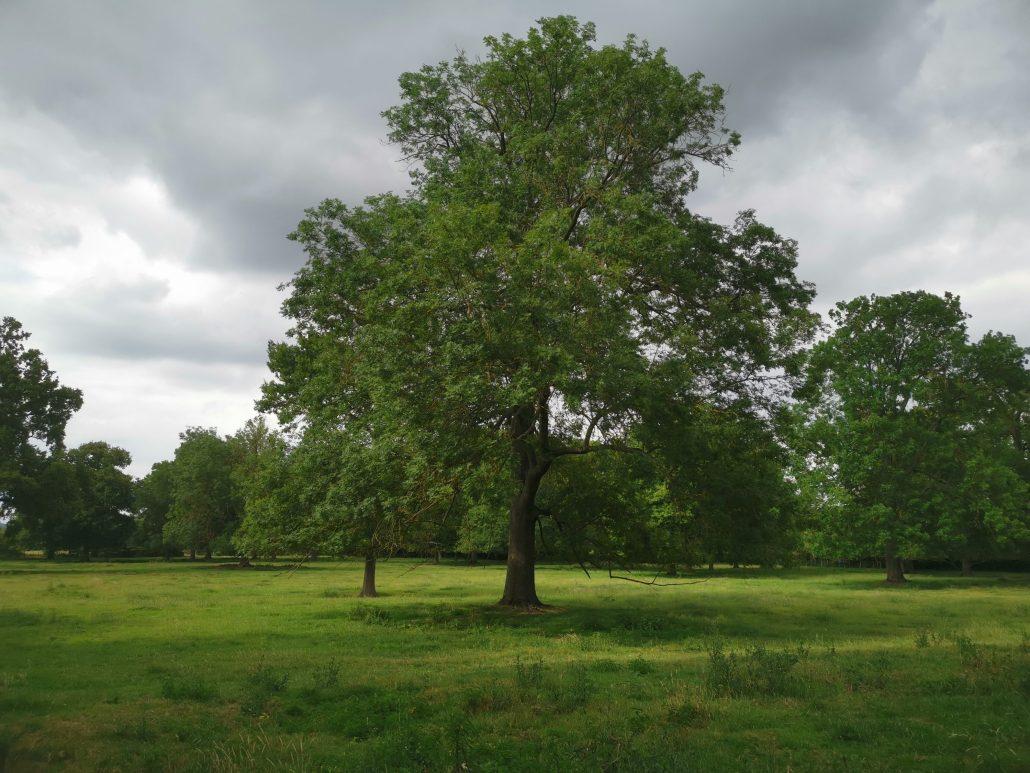 Roi des arbres