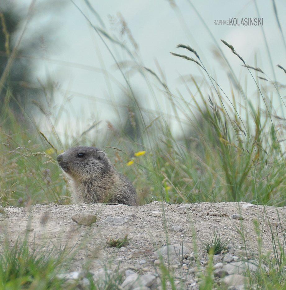Bébé Marmotte