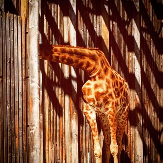 Girafe Caméléon