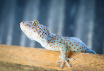 Le gecko en train de muer.