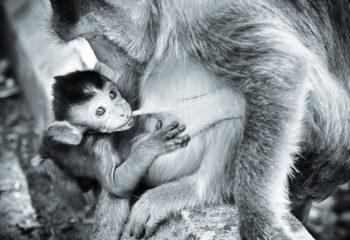 Femelle singe et son petit : l'heure du repas.