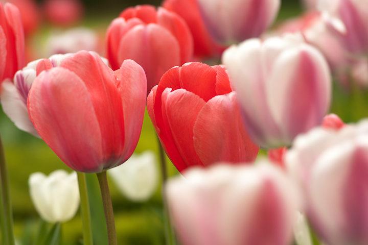 Tulipes au 135STF