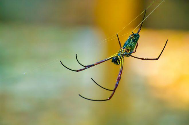 araignée thaïlandaise ...
