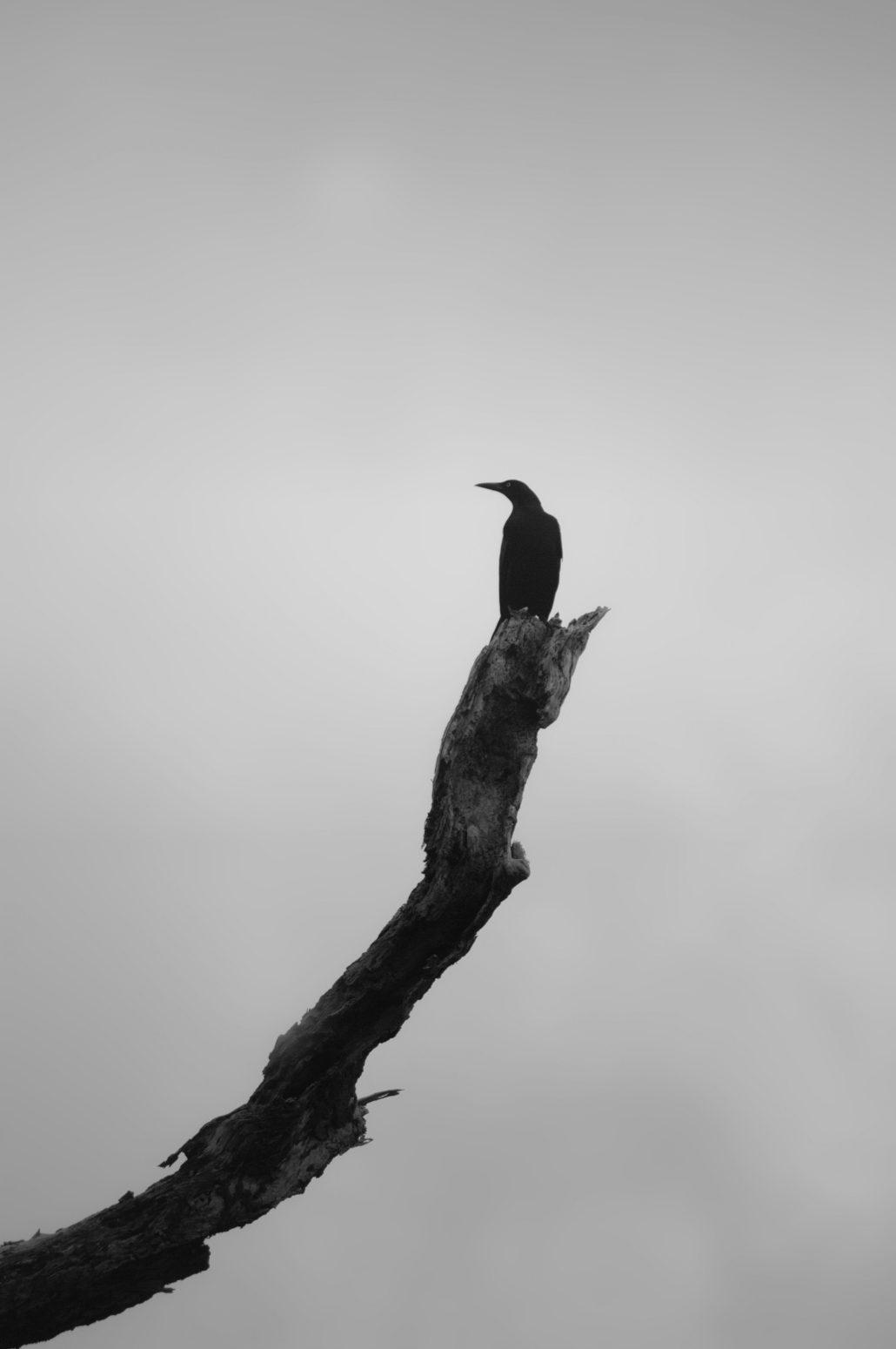 un corbeau sur un arbre perché…ou plutôt une branche…