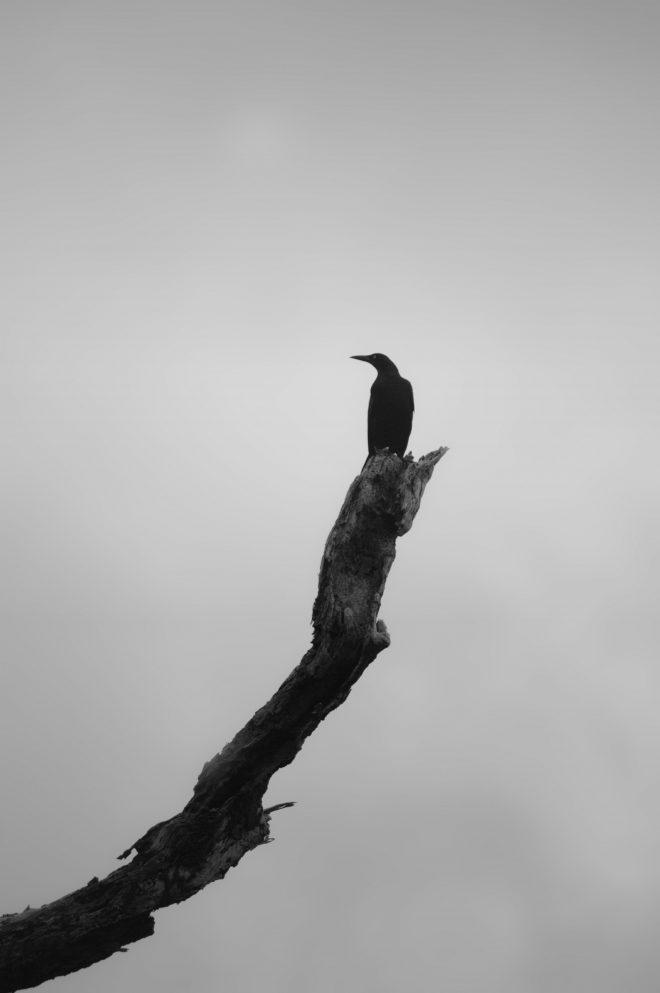 un corbeau sur un arbre perché...ou plutôt une branche...