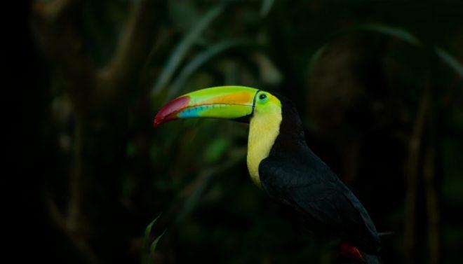 Toucan du Belize