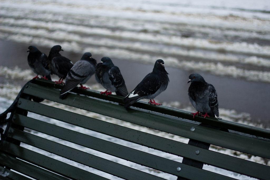 Le gang des pigeons