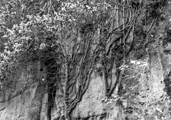 Quand l'arbre prend la roche