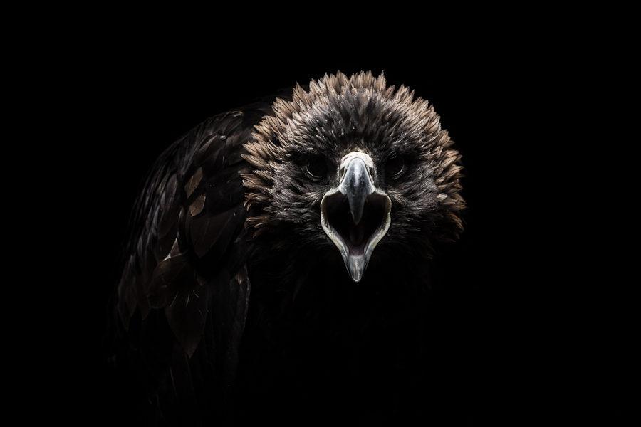 Gods & Beasts – l'aigle