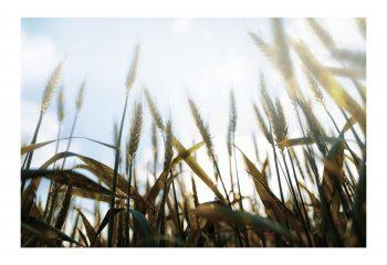 Allongé dans les blés