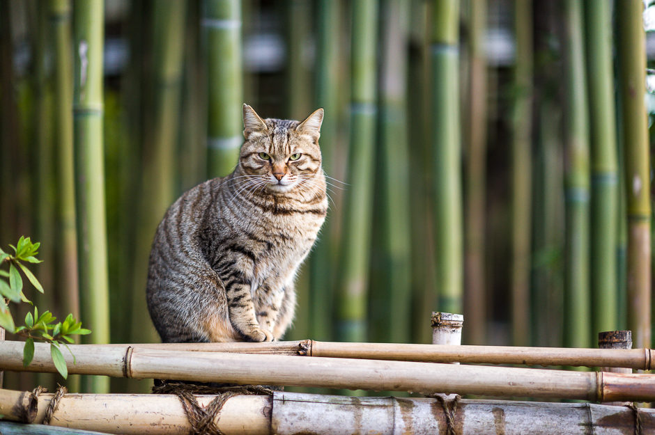 Chat sur bambou