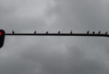 Oiseaux au feu de circulation