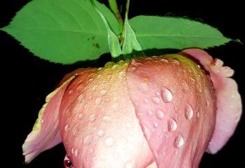 Fleur de nuit pluvieuse