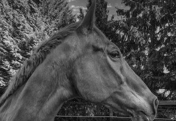 Portrait N&B cheval