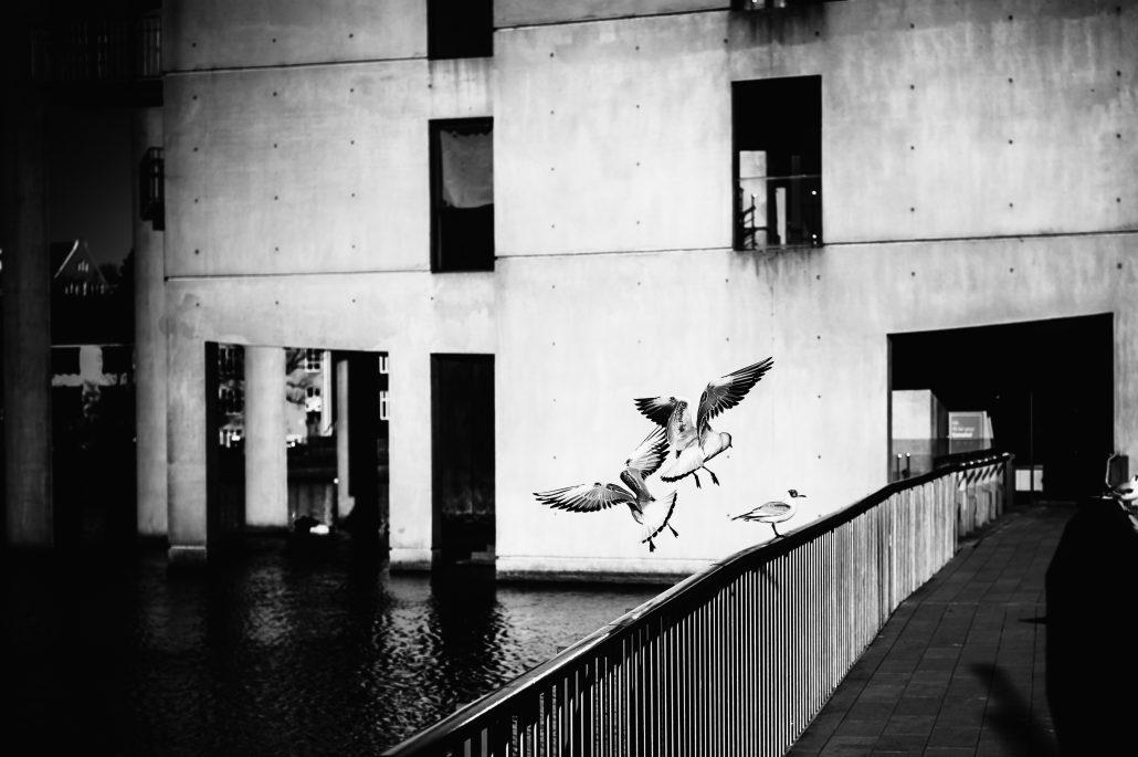 Oiseaux Islandais