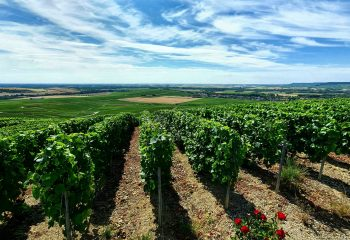 Do you know why rose trees are placed in front of the rows of vines?