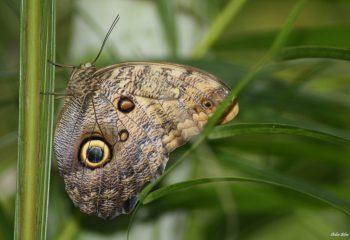 281 Caligo eurilochus.jpg