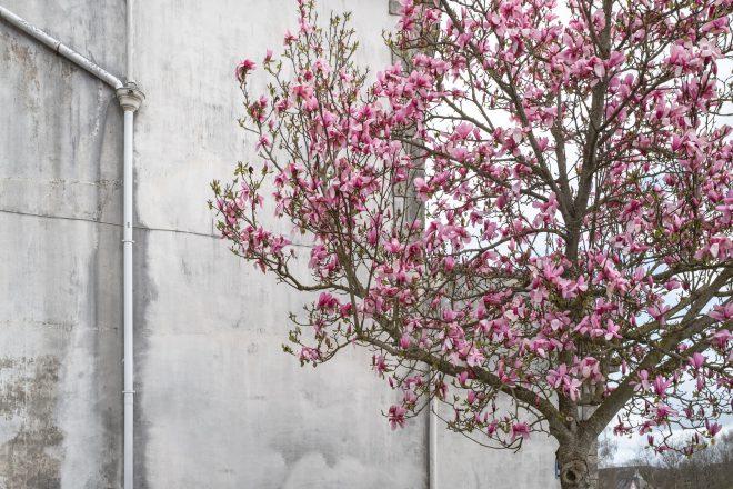 Arbre en fleur sur mur de béton