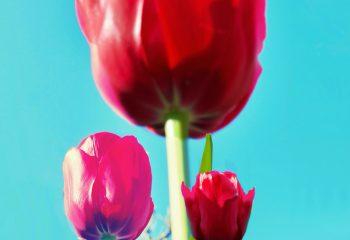 La fierté des tulipes un jour de printemps 21