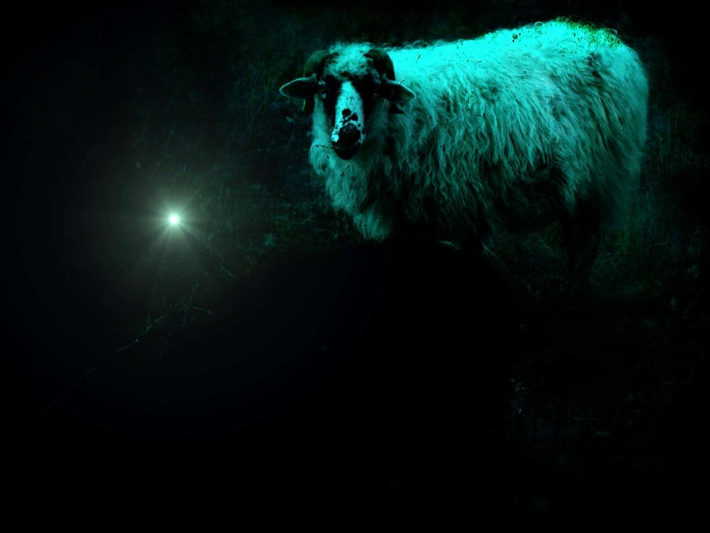Night sheep