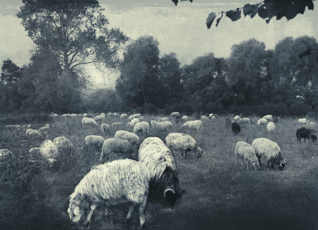 Au vent frais d'été, le troupeau