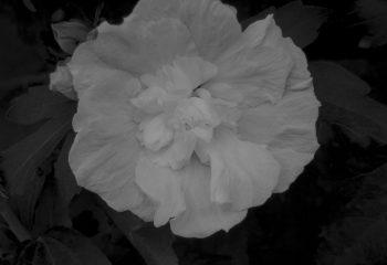La rose innocente