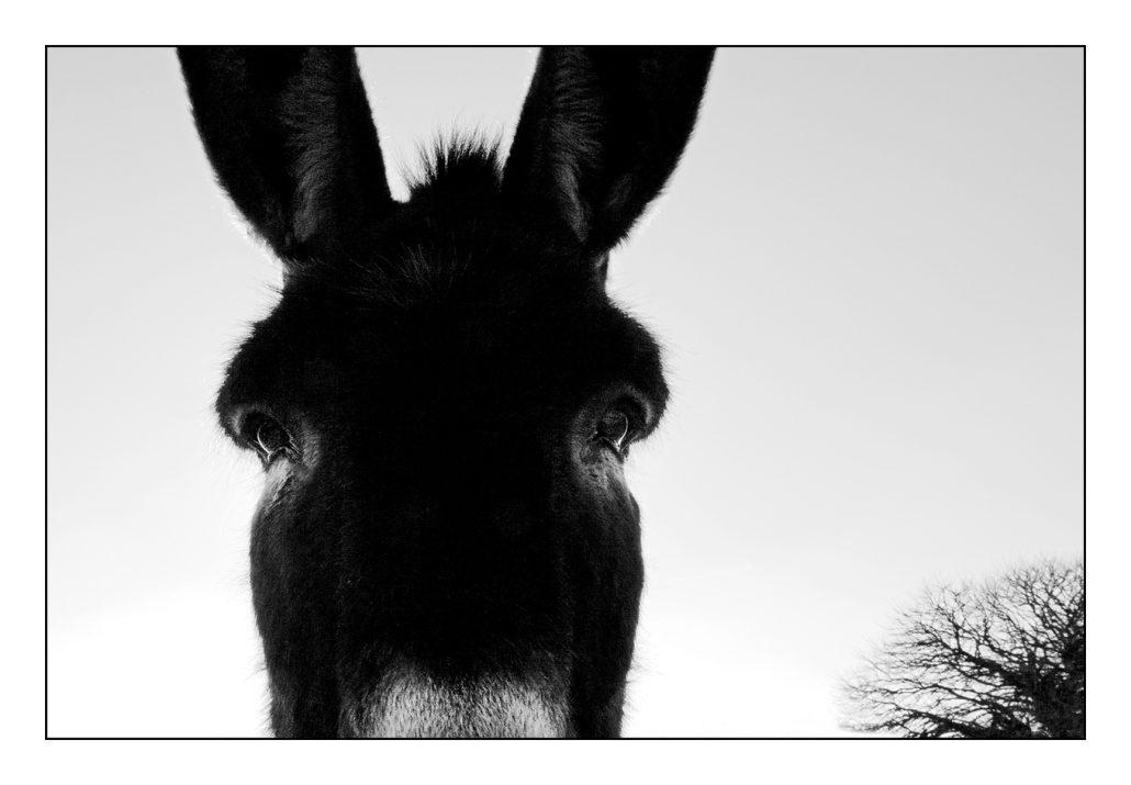 Le portrait de l'âne
