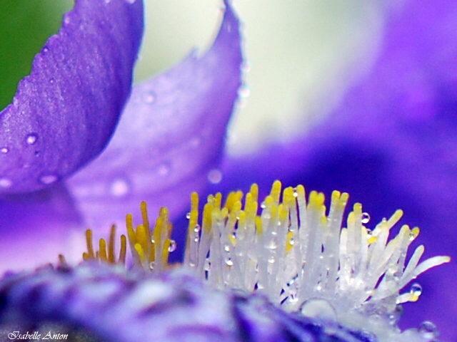 Les iris sous la pluie !