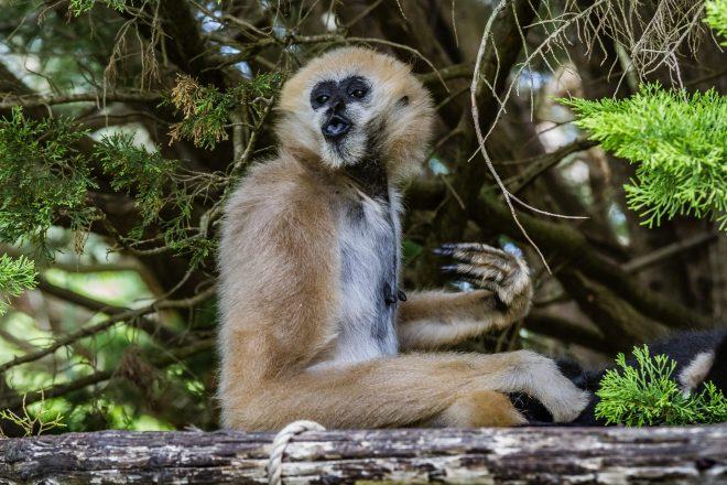 Zoo de la Flèche - Gibbon
