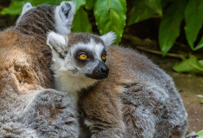 Zoo de la Flèche - Lémur catta