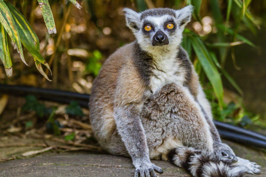 Zoo de la Flèche – Lémur catta