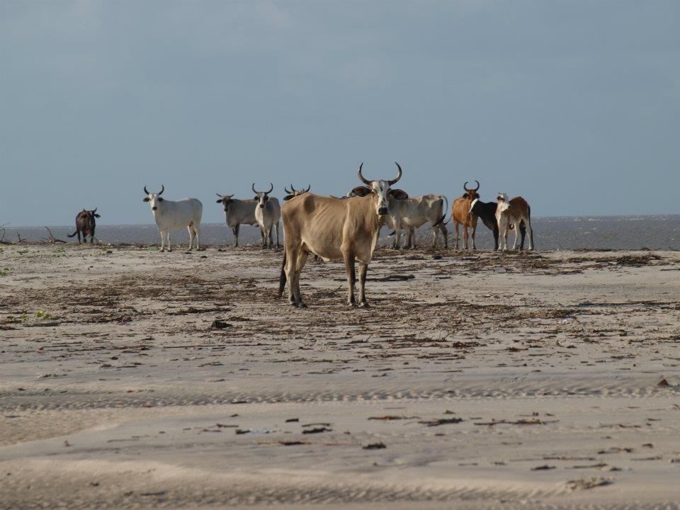 Vaches sauvages, Brésil.