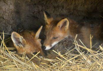 duo de renard