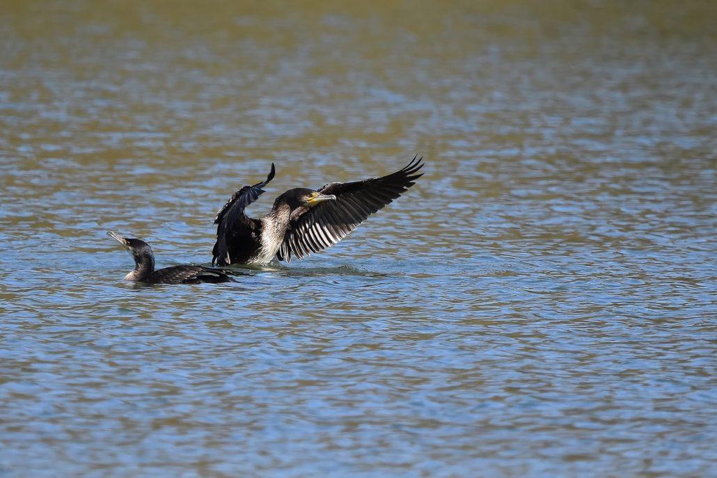 grand cormoran immature